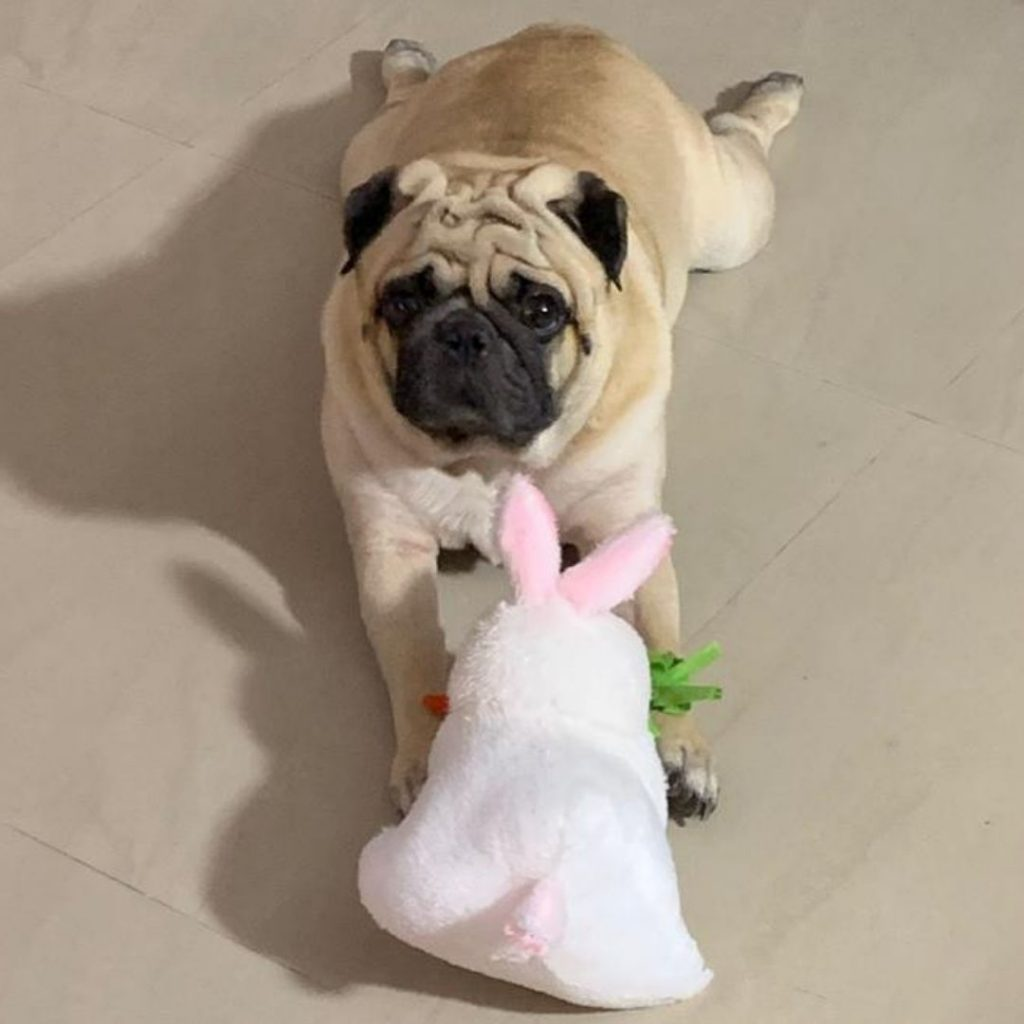 Coco Pug Dog Playing with Toy My Love My Pet