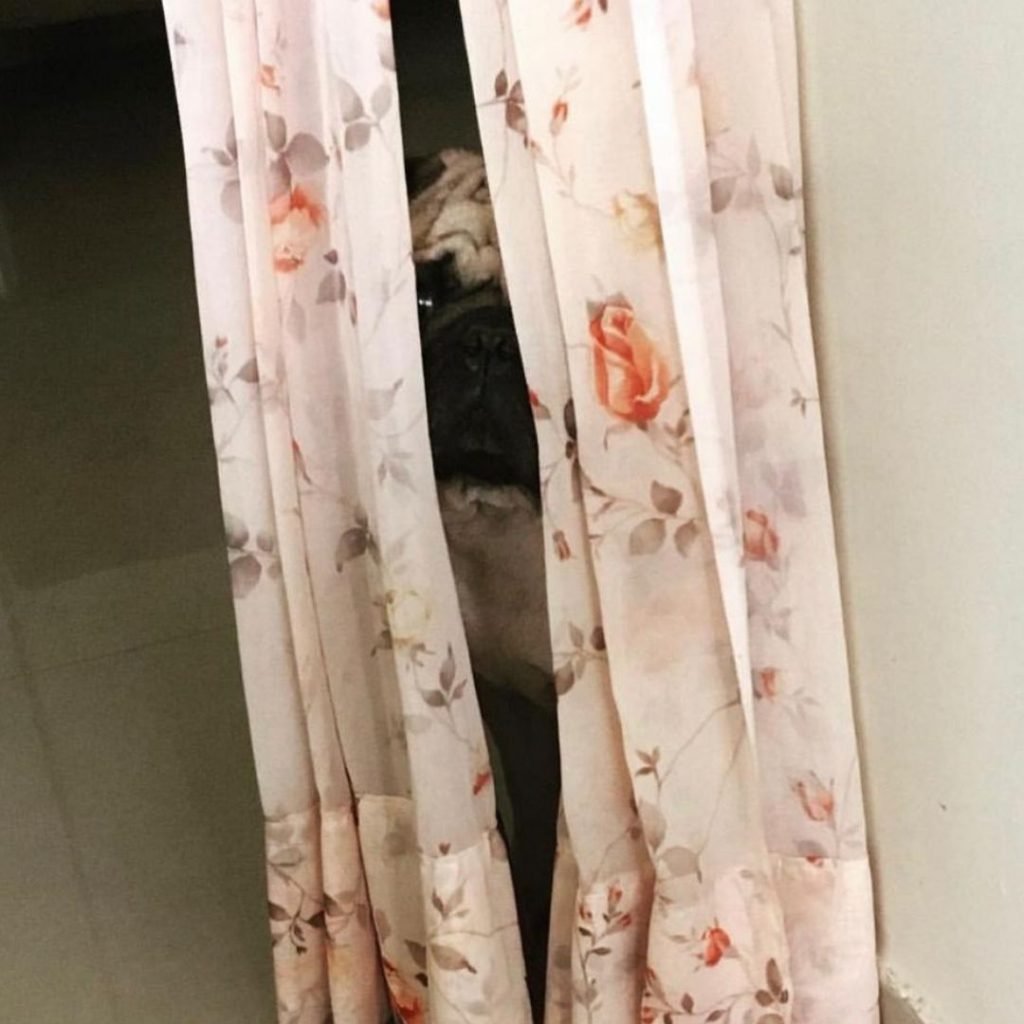 Coco Pug Dog Behind Curtain My Love My Pet