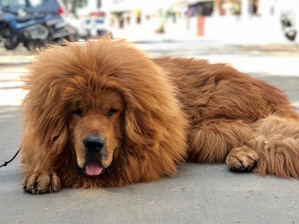 Leo, Tibetan Mastiff Dog With A Lion's Look