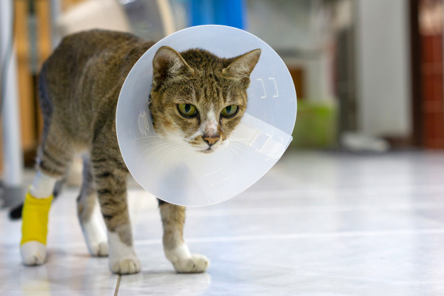 cat with pet collar or e-collar
