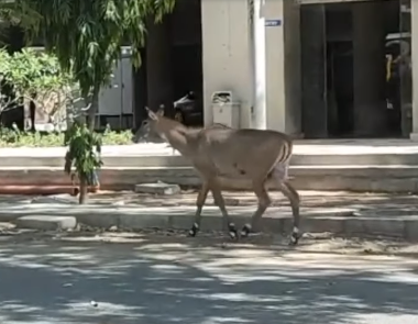 Nilgai Visited C G Road in Lockdown