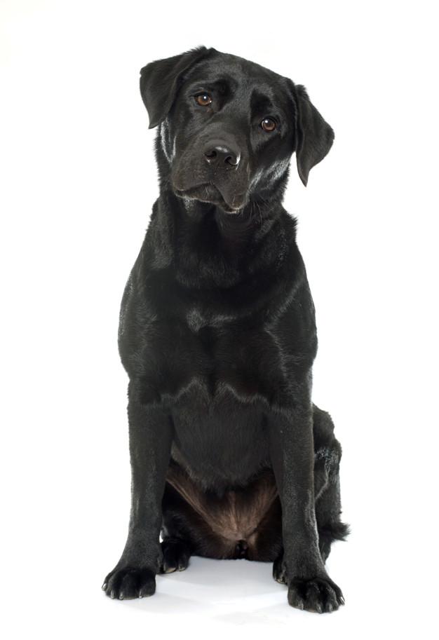 Balck Labrador Dog