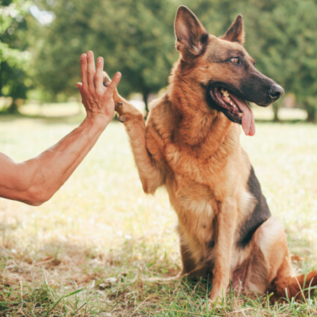 German Shepherd Learning Basic Command