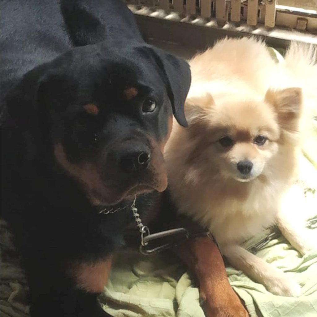 Gracy Rottweiler with Pomeranian Rahul Rajvaidya Ahmedabad