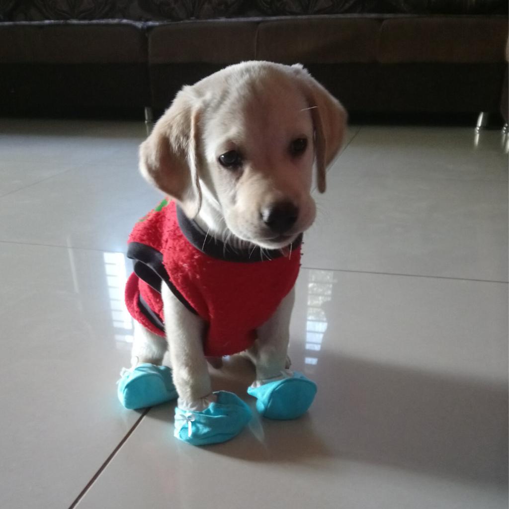 Labrador Puppy Balaram Ahmedabad