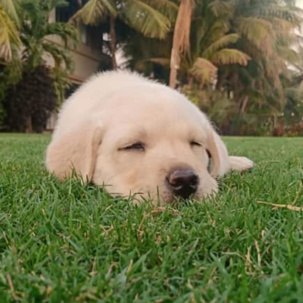 Labrador Puppy Hunter Gujarat