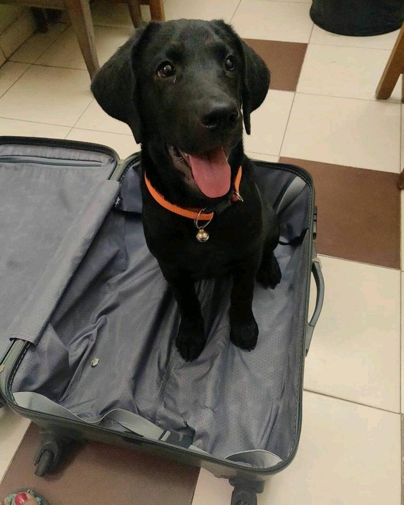 Labrador Retriever Dog Breed Leo