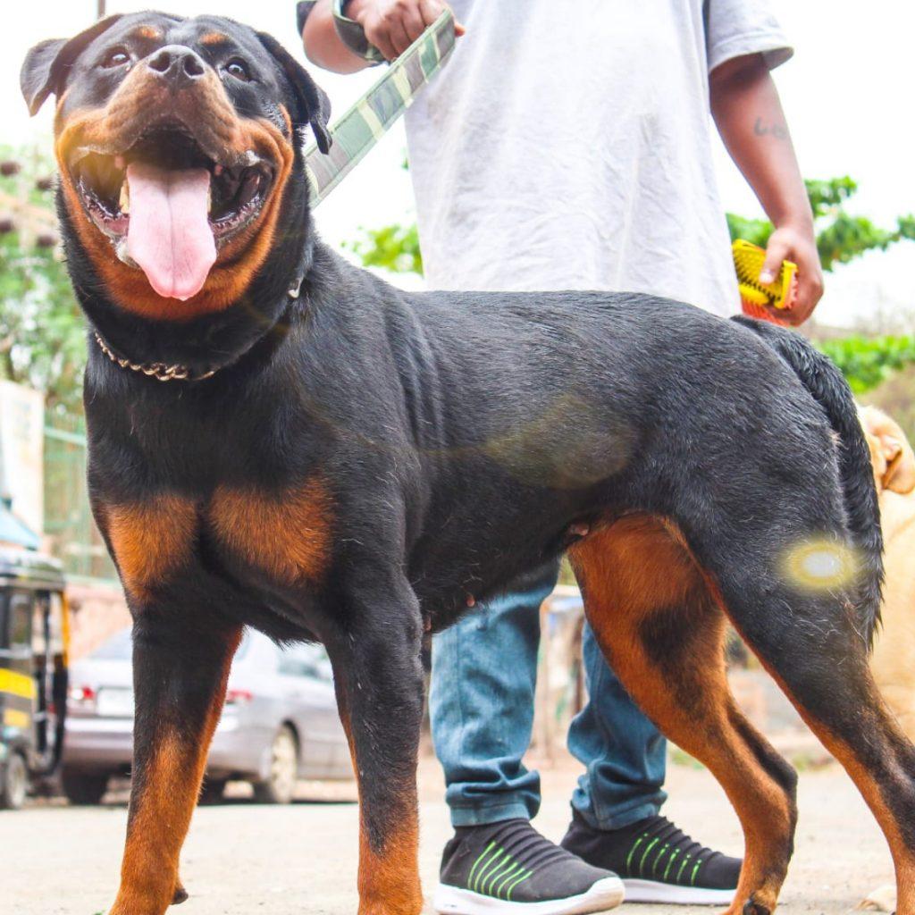 Moana Rottweiler Vasai Bhushan Mandal