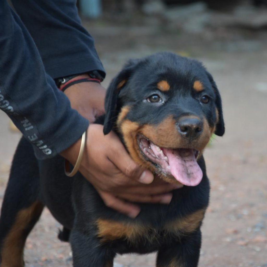 Roxy Rottweiler Dog Kadod Parth Bhavshar 2