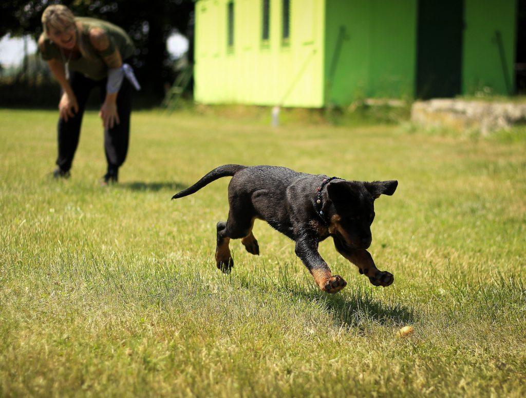 Rottie in action