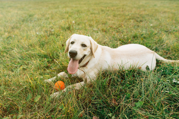 Labrador Retriever Dog Breed, Training, Exercise, Food, Price and Everything You Wanted to Know