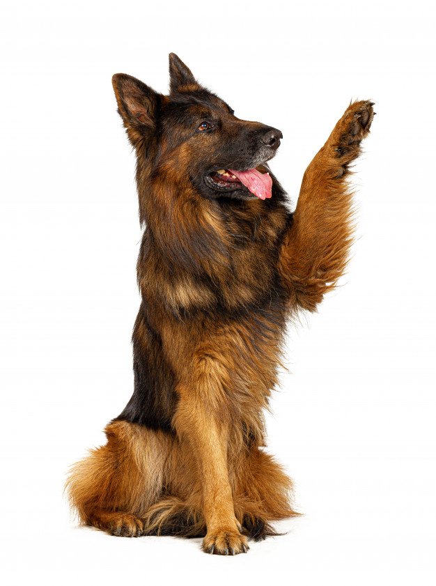 german-shepherd-dog-with-its-paw-up