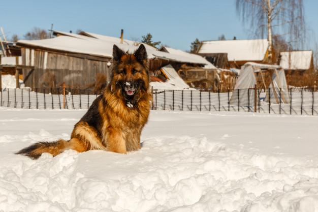 german-shepherd-dog