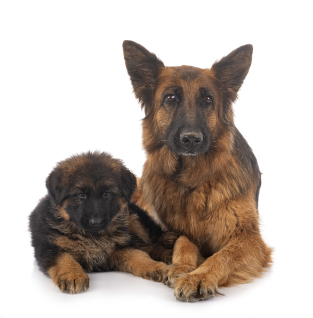 puppy german shepherd and adult