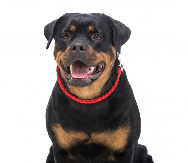 purebred rottweiler with red thong