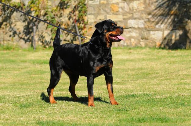purebred-rottweiler-dog_100493-825