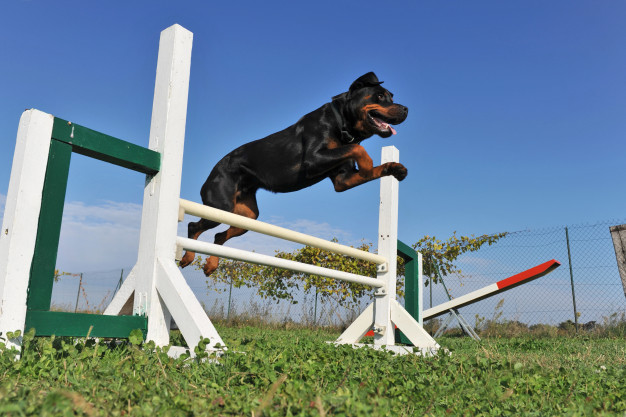 rottweiler agility training