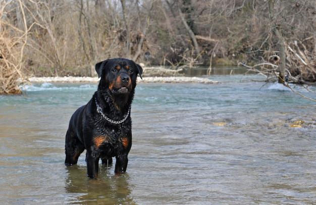 rottweiler dog in water