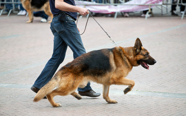 GSD with Leash