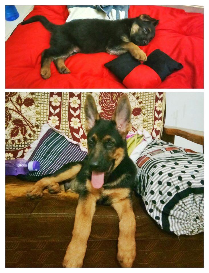 Jack German Shepherd Gandhidham Rashmi Singh 3