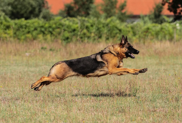 german-shepherd-dog-exercise