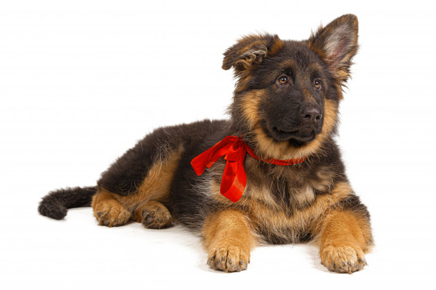 GSD puppy training my love my pet