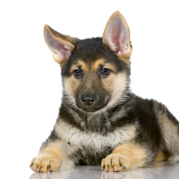 pet line German shepherd puppy